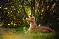 Pharaoh Hound brown dog lies and dreams royalty free stock image