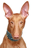 Pharaoh hound close-up portrait Stock Photos
