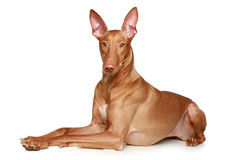 Pharaoh hound dog Stock Photography
