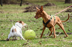Pharaoh Hound dog attacks small Jack Russell Terrier dog Royalty Free Stock Images