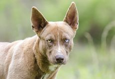 Pharaoh Hound Husky mix dog with one blue eye. Brown unneutered male Siberian Husky mixed breed puppy dog with one blue eye on leash. Outdoor pet adoption Stock Photo
