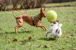 Pharaoh Hound on leash wants to join other dogs game with ball Royalty Free Stock Photos