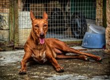 Pharaoh Hound resting in Summer royalty free stock photo