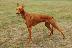 Pharaoh hound / Pharaoh dog. Pharaoh hound/ Pharaoh dog in show pose royalty free stock photography