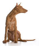 Pharaoh hound Royalty Free Stock Photography