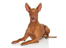 Pharaoh Hound Royalty Free Stock Photo