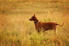 Pharaoh hound in profile Stock Photography