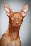 Pharaoh hound puppy on a grey background Stock Photography