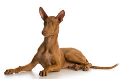 Pharaoh hound puppy Royalty Free Stock Images