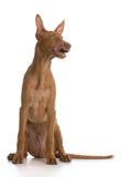 Pharaoh hound puppy Royalty Free Stock Photo