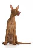 Pharaoh hound puppy Stock Photos
