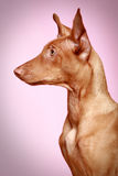 Pharaoh hound puppy on pink background Stock Photos