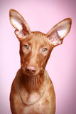 Pharaoh hound puppy on a pink background Stock Photo