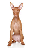 Pharaoh hound puppy on a white background Royalty Free Stock Photo