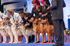Pharaoh Hound and Siberian Husky at dog show Stock Images