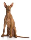 Pharaoh hound Stock Images