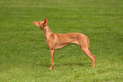 Pharaoh Hound to Attention Royalty Free Stock Photo