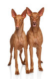 Pharaoh Hounds Royalty Free Stock Image
