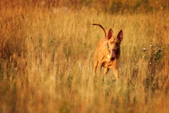 Pharaojagdhund auf dem Gebiet Stockbild