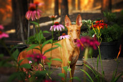 Pharaojagdhund in den Blumen Stockfotos