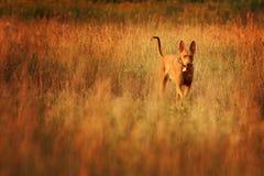 Pharaojagdhund im Profil Lizenzfreie Stockbilder
