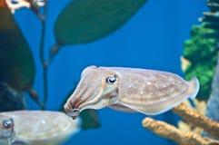 Pharaol Cuttlefish Royalty Free Stock Image