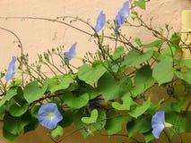Pharbitispurpurea, Ipomea-purpurea Royalty-vrije Stock Fotografie