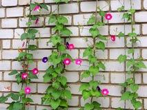 Pharbitispurpurea, Ipomea-purpurea Stock Foto