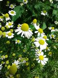 Pharmaceutical camomile. Girlish flower Little pretty flowers. Delicate delicate white petals. Bright yellow inflorescences. Fluff stock image