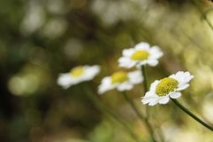 Pharmacy chamomile is medicinal plant, Daisy medicinal, bokeh in the background royalty free stock photography