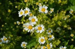 Pharmacy chamomile. White camomiles on natural background Stock Photo