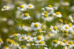 Pharmacy daisies Stock Images