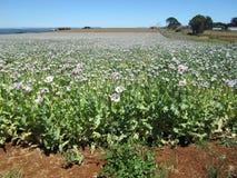 Pharmazeutisches Schlafmohnfeld, Tasmanien, Australien Lizenzfreies Stockbild