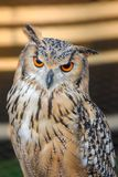 Pharoah-Eagle Owl Up Close images stock