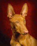 Pharoh Hound royalty free stock photography