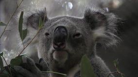 Phascolarctos Cinereus del oso de koala que duerme en rama de árbol en parque zoológico metrajes