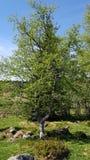 Phase fleurissante tôt, dans le début de l'été norwigian photographie stock libre de droits