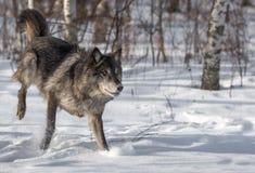 Phase noire Grey Wolf et x28 ; Lupus& x29 de Canis ; Les courses redressent Photo libre de droits