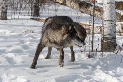 Phase noire Grey Wolf et x28 ; Lupus& x29 de Canis ; Les tours redressent Photos libres de droits