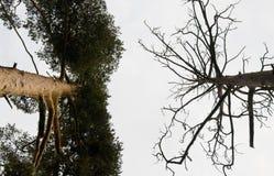 Phasen- und tote Bäume Stockfoto