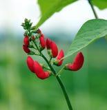phaseolus цветка coccineus фасоли Стоковое Изображение RF