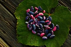 Phaseolus coccineus. Leguminosae. Scarlet runner beans on leaves
