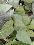 Phaseolus vulgaris lizenzfreies stockbild