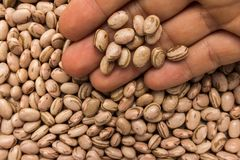 Pinto Bean legume. Person with grains in hand. Macro. Whole food. Phaseolus vulgaris is scientific name of Pinto Bean legume. Also known as Frijol Pinto and stock photo