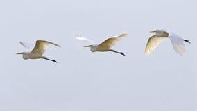 Phases of bird flight, white egret Stock Image