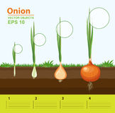Phases of growth of a onion in the garden. Growth, development and productivity of onion. Growth stage. Vector illustration. Phases of growth of a onion in the Stock Image