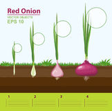 Phases of growth of a red onion in the garden. Growth stage. Infographic concept. Vector illustration. Phases of growth of a red onion in the garden. Growth Royalty Free Stock Photos