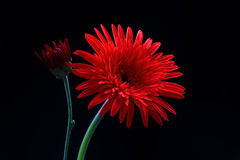Phases of life. Red gerbera flower with bud showing different phases of life stock photos