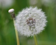 Phases of the life of dandelions royalty free stock image