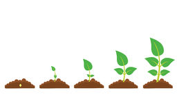 The phases of plant growth. Set of illustrations with phases plant growth. Phases of greenery germination and cultivation. New life and organic concept vector illustration